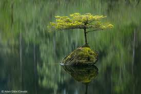 Fairy Lake Fir, Adam Gibbs